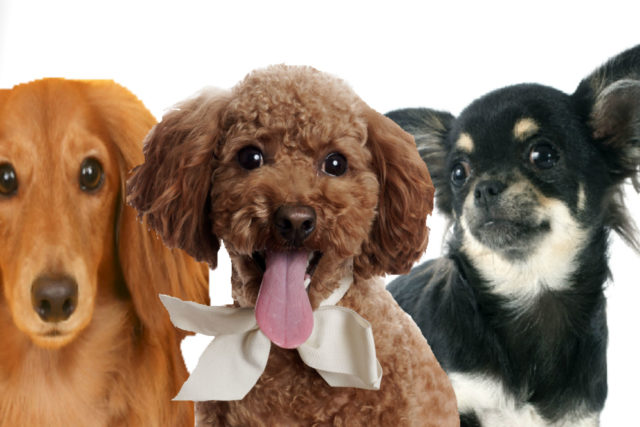 飼いやすい犬はどの犬種 トイプードル ミニチュアダックスフンド