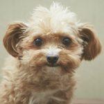 知ってますか?雑種犬とミックス犬・ハーフ犬の違いと注意点 チワプー、マルプーなど