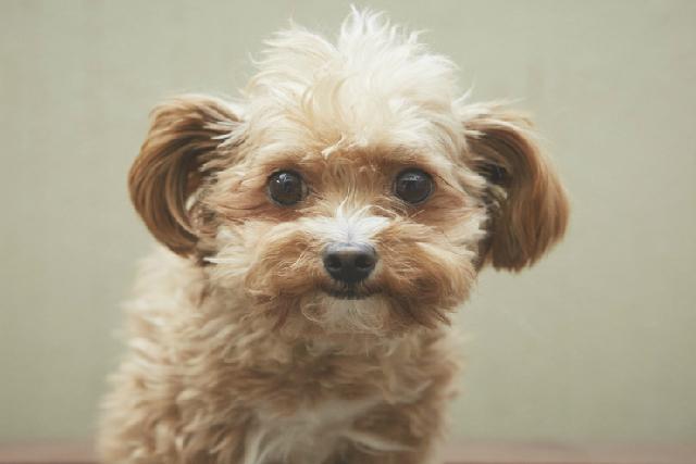 チワプー ミックス犬 雑種犬